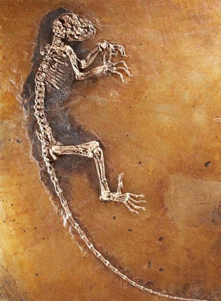 El famoso fósil alemán de Darwinius