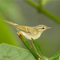 Phylloscopus trochiloides