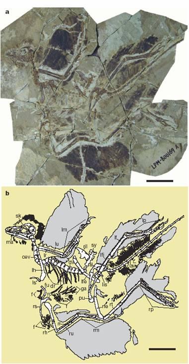 Foto (arriba) y esquema (2) de un fósil de <i>Anchiornis huxleyi</i>