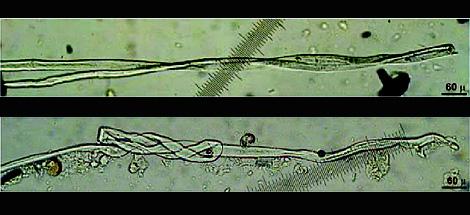 Dos fibras encontradas en la República de Georgia. | Science/AAAS