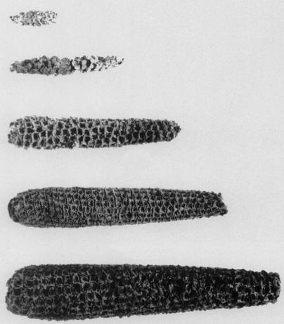 Evolución de la mazorca de maíz (Zea mays ssp. mays)
