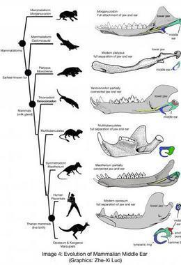 Evolución del oído medio de los mamíferos / Zhe-Xi Luo