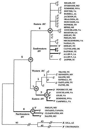Filogenia Hyla versicolor e Hyla chrysoscelis