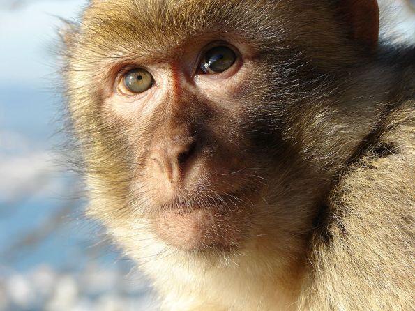 Gibraltar_Macaque