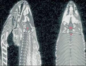 El escáner del salmón obtenido por Bennett. - C. B.
