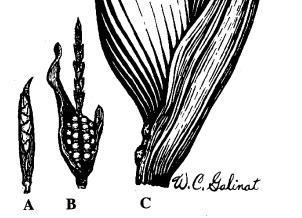 Teosinte maiz primitivo y maiz moderno