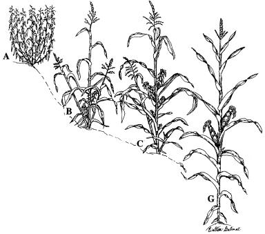 variación y evolución ecológica del teocinte