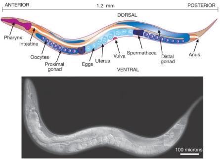 Anatomía de Caenorhabditis elegans