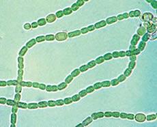 cianobacteria