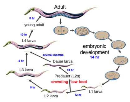 Ciclo de Caenorhabditis elegans