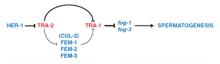 El papel de tra-2