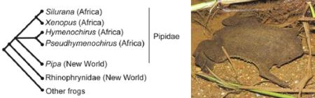 Filogenia Pipidae y Pipa de Surinam