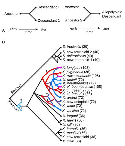 Filogenia y Evolución Xenopus y Silurana