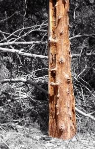 Muchas especies de xilófagos se alimentan de madera viva