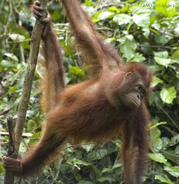 Individuo joven de orangután en Sepilok