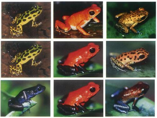 Especiación en ranas (3) Hibridacion-en-dendrobates-pumilio