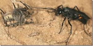"""Los requerimientos alimenticios de muchas especies """"pequeñas"""" son muy complejos. Por ejemplo la avispa Planiceps hirsutus parasita a una araña tapadera de California. Busca un pozo de araña en las dunas, y modifica la entrada moviendo la arena para hacer salir a la araña. Cuando sale, la avispa ataca y la paraliza. La arrastra nuevamente al pozo, deposita un huevo sobre la araña y luego vuelve a tapar el pozo. La larva nace y se alimenta de la araña."""