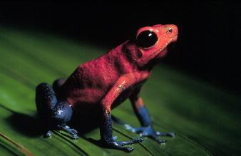 Especiación en ranas (3) Joyita-costarricense-dendrobates-pumilio-schmidt-1857