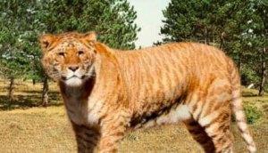 Los híbridos entre especies próximas, como el ligre (leon y tigr) suelen ser estériles.