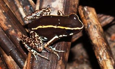 Especiación en ranas (3) Phyllobates-lugubris