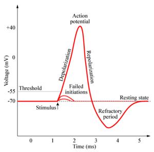 Representación gráfica de un potencial de acción