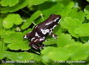 Especiación en ranas (3) Preciosa-dendrobates-pumilio-de-patron-blanco-y-negro