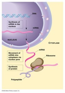 Esquema simplificado de la síntesis de proteínas