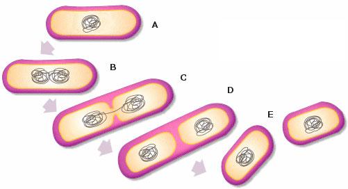 La bipartición o fisión binaria, es un proceso reproductivo típico de bacterias y otros microorganismos.