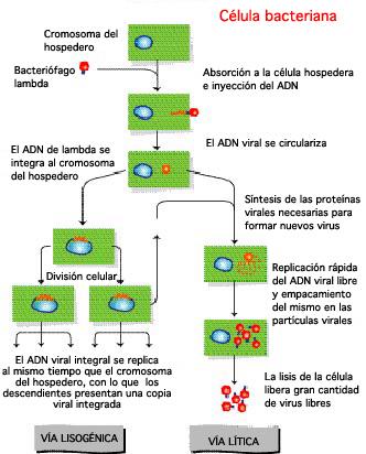 Helicobacter pylori - Wikipedia, la enciclopedia libre