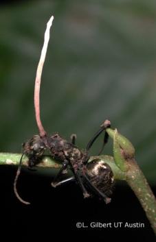 Hongo de la especie Cordyceps lloydii parasitando a una hormiga del género Camponotus