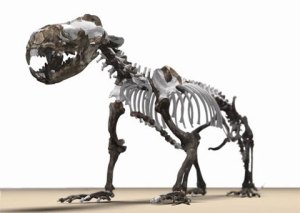 Los numerosos fósiles transicionales (como esta Puijila darwini en la línea de las focas), son de gran ayuda en el estudio evolutivo.