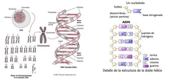 Estructura del ADN y los cromosomas