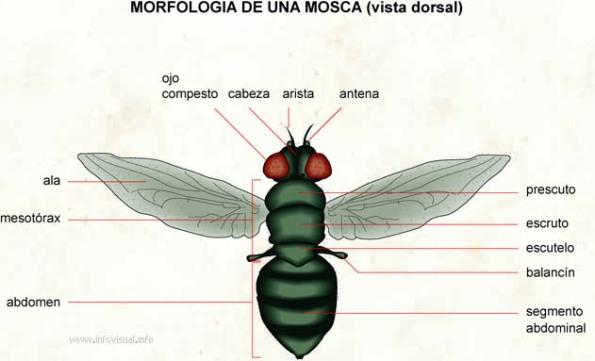 Morfología de una mosca, mostrando el primer par de alas membranosas y el segundo reducido a un par de balancines.