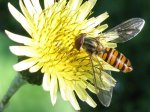 Episyrphus balteatus Diptera, Syrphidae. (Foto: Naturefinland)