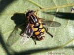 Helophilus fasciatus (Foto: