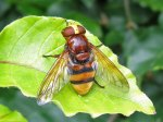 Volucella zonaria<br/>Diptera, Syrphidae