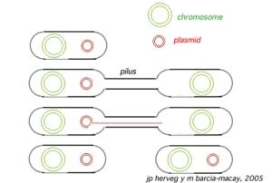 Esquema de conjugación bacteriana