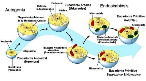 Proceso mixto en la formación de la célula eucariota