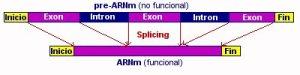 Figura 1. Proceso de splicing en un ARNm