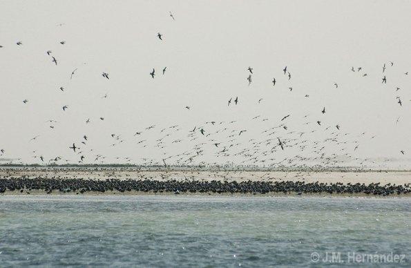 Miles de limícolas en Iwik