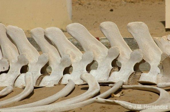 Un bicho algo más grande: vértebras de ballena en Mamghar