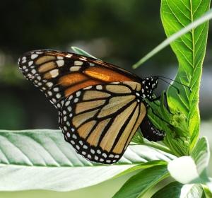 La mariposa monarca (Danaus plexippus) realiza migraciones de miles de kilómetros. Foto: Wikipedia Commons