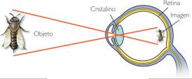 Formación de la imagen en el ojo humano