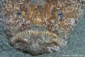 Pez rata (Uranoscopus scaber)