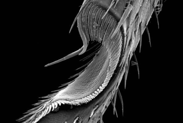 Órgano limpiador del escarabajo Ildobates neboti Español, 1966. Coleoptera, Carabidae. Fotografía: Sergio Montagud (Asociación española de Entomología)