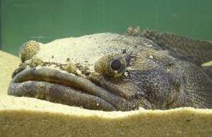 Pez sapo (Halobatrachus didactylus)