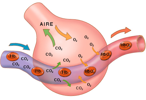 Esquema simplificado del intercambio gaseoso en los alvéolos pulmonares