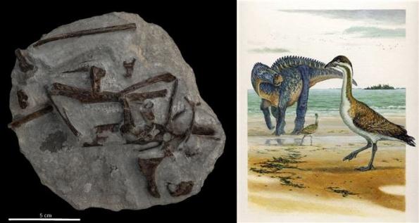 Fósil y recreación artística de Vegavis