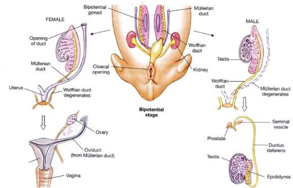 embrionario de las gónadas masculinas y femeninas en el ser humano