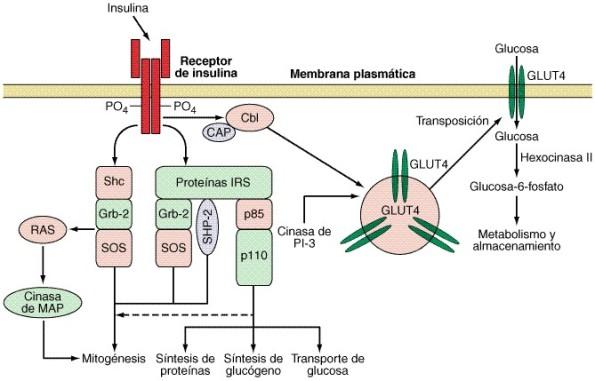 Esquema de la acción de la insulina en la incorporación de glucosa a la célula